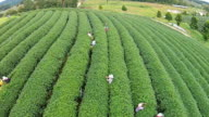 Top View Tea plantation in Thailand video