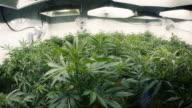 Tops of Indoor Marijuana Plants with Fisheye Lens video