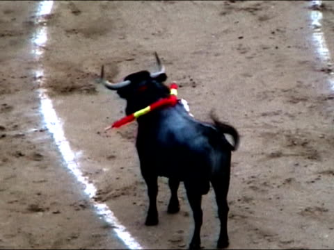 Toro during bullfight video
