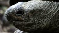 Tortoise close-up video