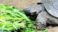 Tortoise eating video