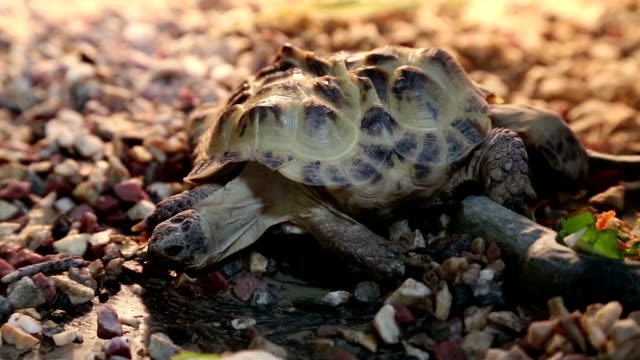 Tortoise mutant with two heads video
