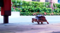 Tortoise walking video