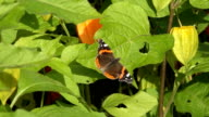 Tortoiseshell (Aglais urticae) tabby butterfly sit on husk tomato leaves. video