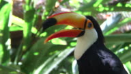 HD: Toucan sitting on a branch video