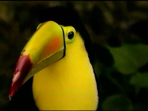 Toucan tropical bird Close-up video