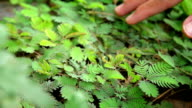 Touch the sensitive plant video