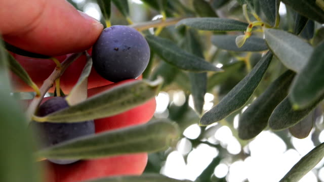 Touching an olive video