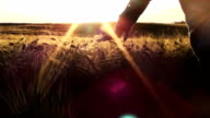 Touching barley in sunset video
