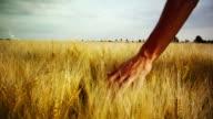 Touching Barley (Hd 1080) video