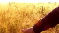 Touching ripe ears of barley video