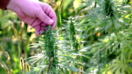 HD: Touching top of industrial hemp with fingers video