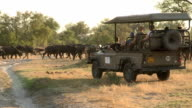 Tourists on game drive safari vehicle looking at herd of Buffalo,Botswana video
