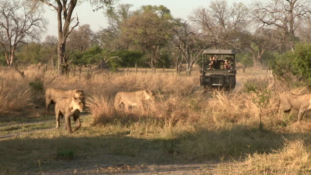 Tourists on game drive safari vehicle looking at lions,Botswana video