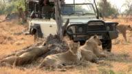 Tourists on safari vehicle looking at lion pride,Botswana video