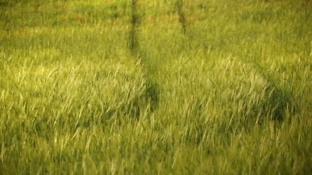Tracks in the wheat video