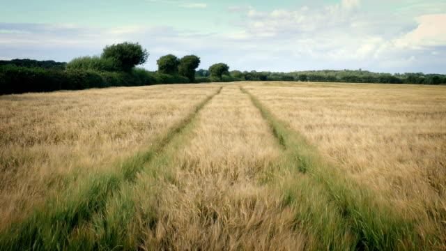 Tracks Through Corn Field On Sunny Day video