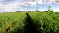 Tracks through pea field, time lapse video