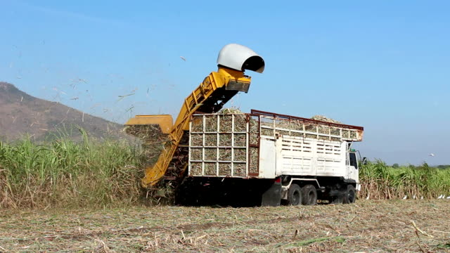 tractor and truck harvest sugarcane video