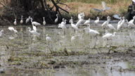 Tractor with a flock of white egret. video