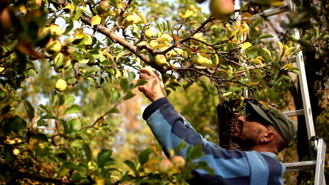 Traditional apple picking video
