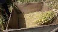 Traditional hulling, threshing of rice in rural Vietnam. video