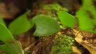 Trail of leaf cutter ants (Atta sp.) video