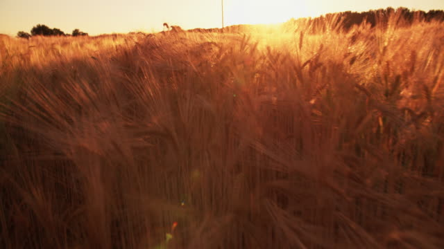 Tranquil image of golden wheat at sunset video