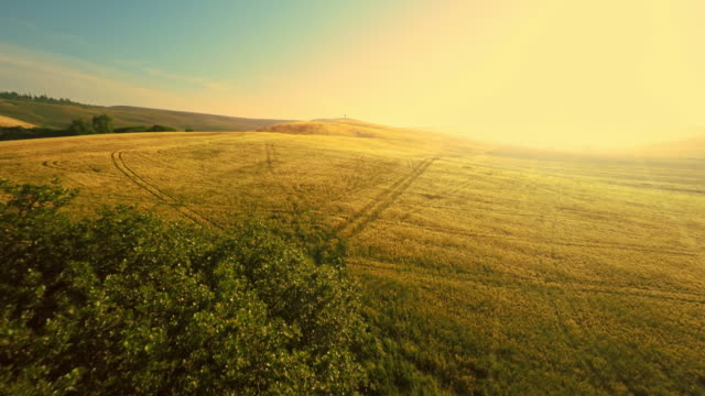 AERIAL Tree among wheat fields at sunset video