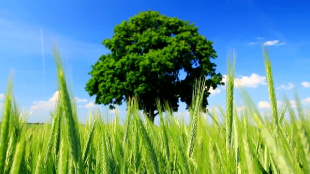 Tree and corn field video
