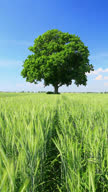 Tree and wheat field video