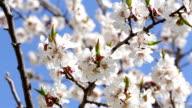 Tree apricots blossoms video