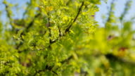 Tree branches covered with green leaves fluctuate on air video