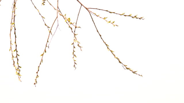 Tree branches with spring buds video