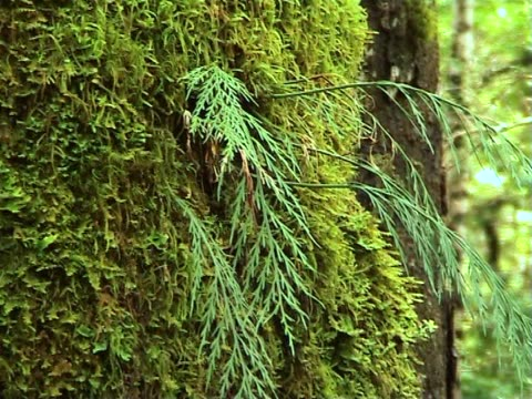 PAL: Tree covered in moss video