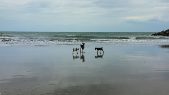 T้ree dogs running on the beach video