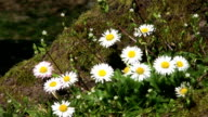 Tree Flowers - Chamomile Close Up (HD 1080p30) video