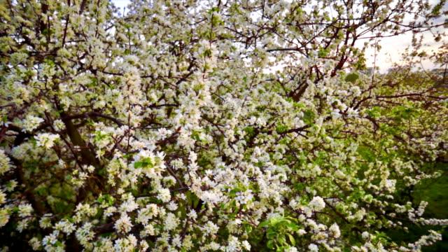 Tree flowers pan video
