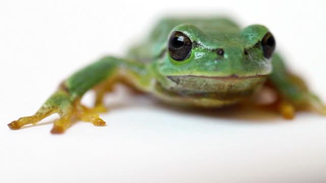 Tree Frog Macro  Close Up video