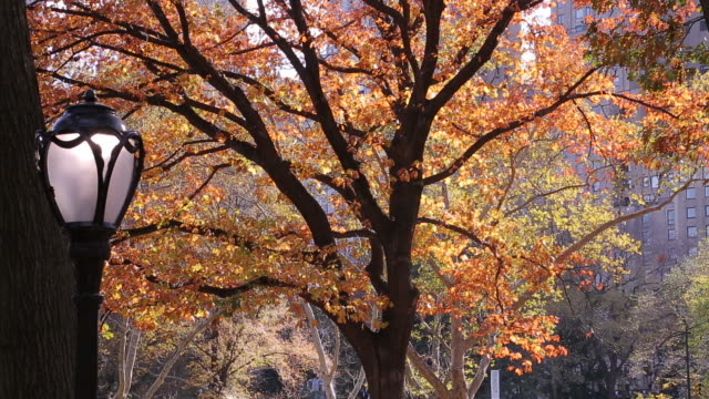 Tree in New York City's Central Park in fall video