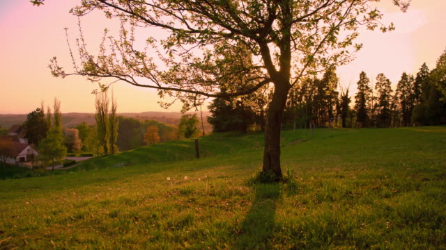 Tree in the meadow at sunset video