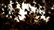 Tree leaves and sunlight. video