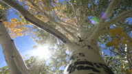 Tree Leaves Blow in Breeze video