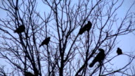 Tree of Crows video