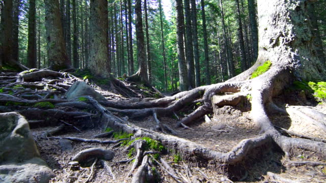 Tree Roots in a Magic Pine Forest video