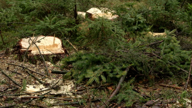 CLOSE UP: Tree stumps and brunches left behind after limbing and logging works video
