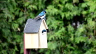 Tree Swallows Nest video