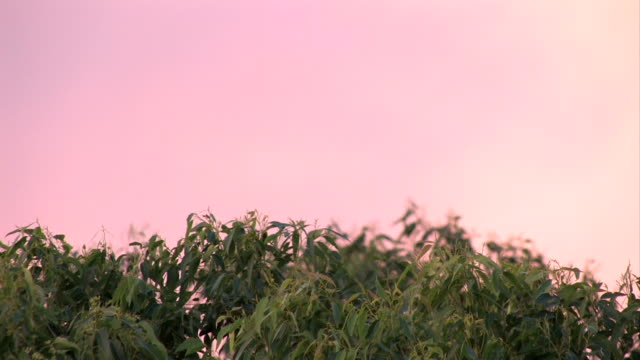 Tree top sways beneath pink sky video