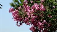 A tree with pink flowers video