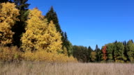 Trees among a grass on a forest glade in the fall video